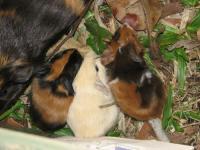Guinea Piglets