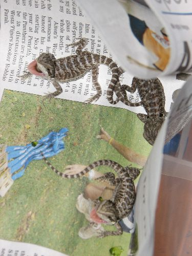 Baby Inland Bearded Dragons