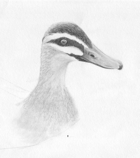 WIP - Duck