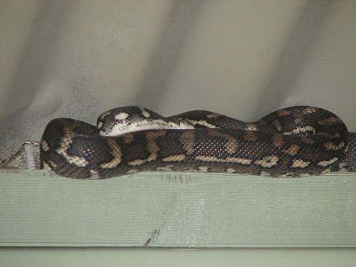 Coastal Carpet Python